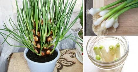 Como plantar cebolinha em casa Como cultivar peces en casa