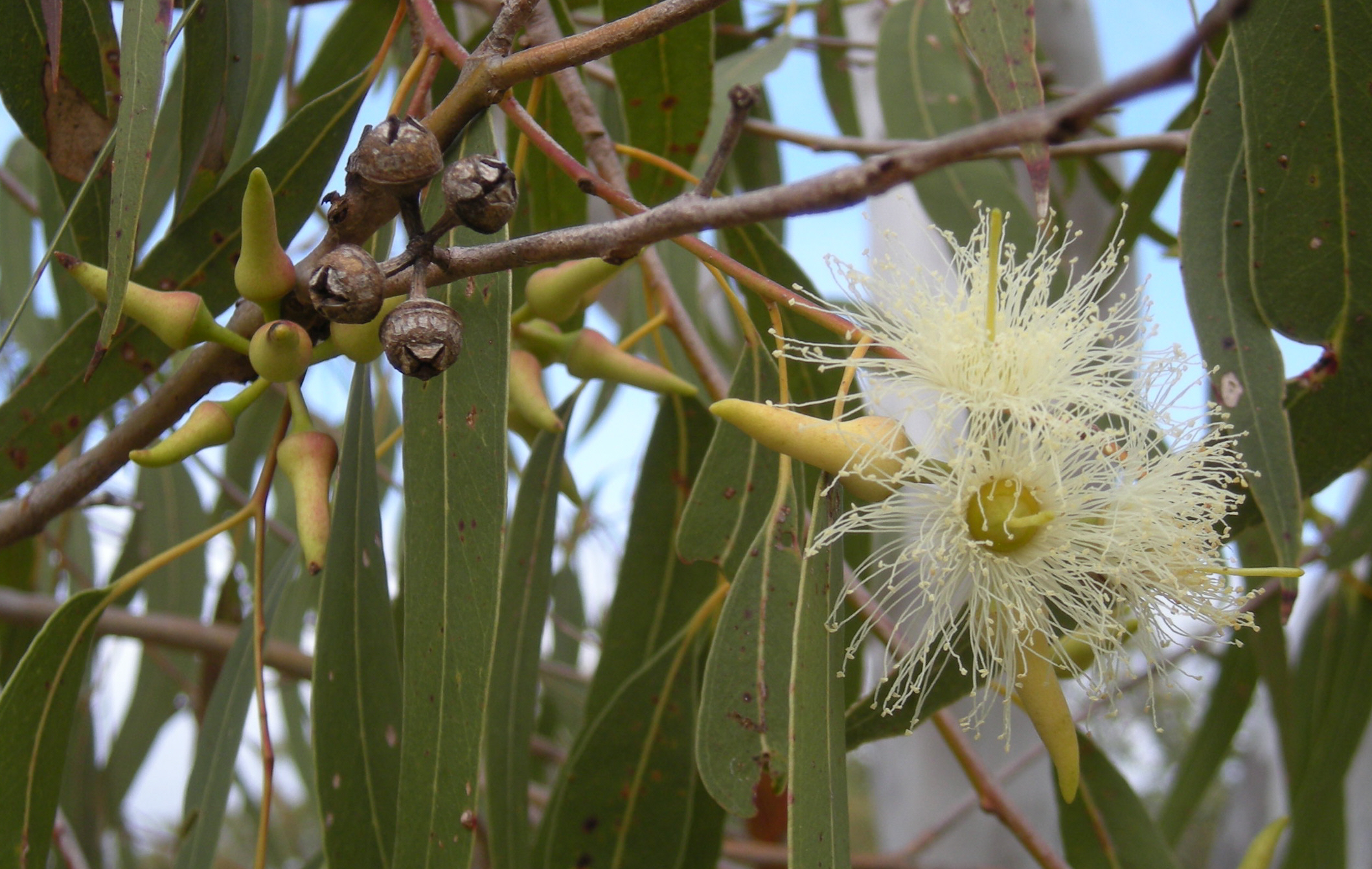 Eucalyptus_tereticornis_flowers,_capsules,_buds_and_foliage