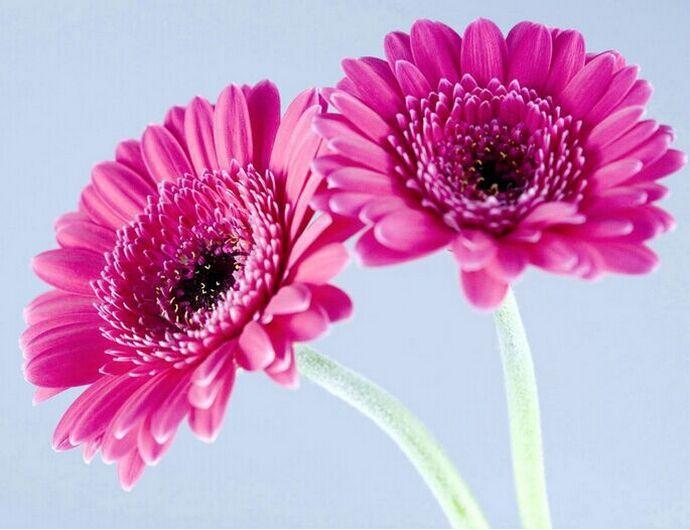 Quickly-germinate-bonsai-flowers-font-b-seeds-b-font-20-font-b-Gerbera-b-font-font