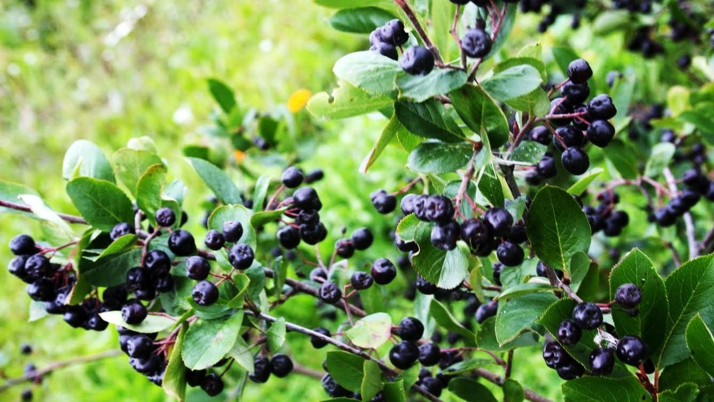 aronia-berries2