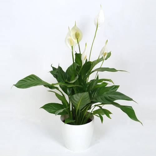 planta-de-interior-spathiphyllum-cachepo-branco_PT_500_0010108